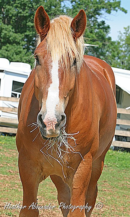 By Heather Moreton from Louisville, KY, USA - Belgian Horse at the Kentucky Horse ParkUploaded by Princess Mérida, CC BY 2.0, https://commons.wikimedia.org/w/index.php?curid=23352324