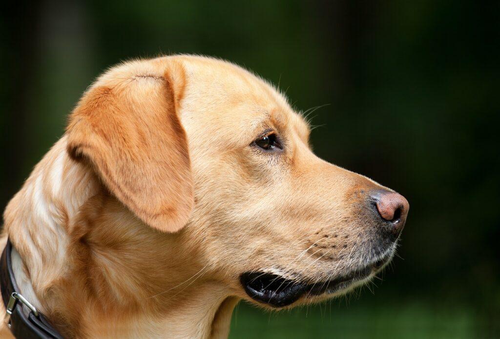 dog, labrador, pet